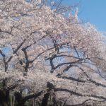 桜2015@井の頭公園